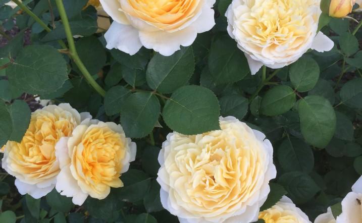 2016 roses 1